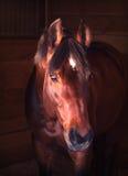 Cavallo di baia del ritratto in allentato-casella Fotografia Stock