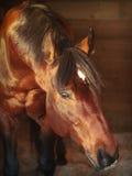 Cavallo di baia del ritratto in allentato-casella Fotografia Stock Libera da Diritti