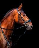 Cavallo di baia dell'Holstein del ritratto su un fondo nero Fotografia Stock