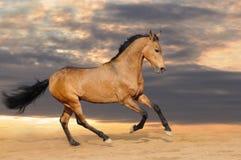 Cavallo di baia galoppante immagine stock
