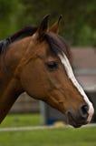 Cavallo di baia nel profilo Immagini Stock Libere da Diritti