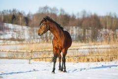 Cavallo di baia nell'inverno Fotografia Stock