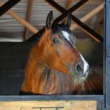 Cavallo di baia in scuderia fotografia stock libera da diritti