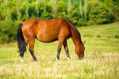 Cavallo di baia scuro fotografia stock