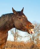 Cavallo di baia scuro che attacca la sua linguetta fuori Fotografie Stock Libere da Diritti