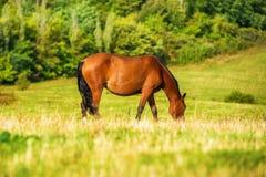 Cavallo di baia scuro che pasce su un campo fotografia stock libera da diritti