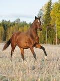 Cavallo di baia sul campo Fotografie Stock Libere da Diritti