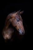 Cavallo di baia sul nero Fotografia Stock
