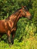 Cavallo di baia in vegetazione Fotografie Stock