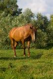 Cavallo di Brown Fotografia Stock Libera da Diritti