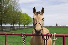 Cavallo di Brown Fotografie Stock