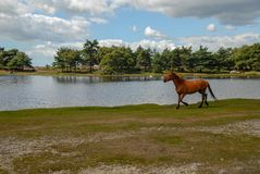 Cavallo di Brown che corre vicino al lago immagini stock libere da diritti