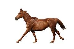 Cavallo di Brown che galoppa velocemente isolato su bianco Immagine Stock