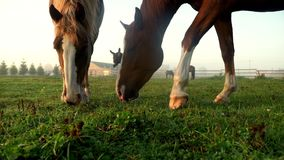 Cavallo di Brown che mangia erba al campo rurale Asino e cavalli che pascono sul pascolo stock footage