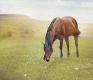 Cavallo di Brown che pasce in un campo Fotografie Stock Libere da Diritti
