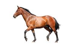Cavallo di Brown che trotta velocemente isolato su bianco Fotografie Stock
