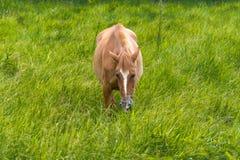 Cavallo di Brown con il punto bianco sul pascolo capo fotografia stock