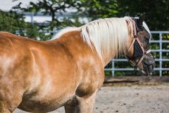 Cavallo di Brown con l'esterno diritto della criniera bianca fotografia stock