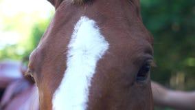 Cavallo di Brown con la banda bianca Il cavaliere mette sopra le redini su  video d archivio