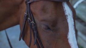 Cavallo di Brown con la banda bianca Il cavaliere mette sopra le redini su  stock footage