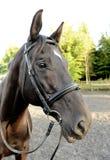 Cavallo di Brown con la briglia ed il pezzo Fotografia Stock Libera da Diritti