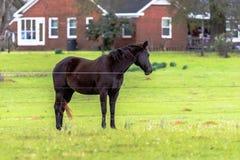 Cavallo di Brown con la casa rossa nel fondo Fotografia Stock Libera da Diritti