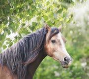 Cavallo di Brown con la criniera lunga in sole ed in fogliame Fotografie Stock