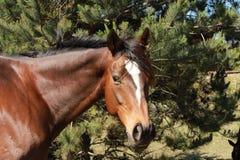 Cavallo di Brown con la fiammata bianca Immagini Stock