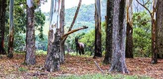 Cavallo di Brown da solo nella foresta in autunno Fotografia Stock