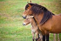 Cavallo di Brown ed il suo puledro in un campo verde di erba. Immagine Stock Libera da Diritti