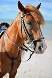 Cavallo di Brown nel mare Fotografie Stock Libere da Diritti