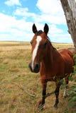 Cavallo di Brown nel paesaggio del campo del paese Fotografia Stock