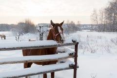 Cavallo di Brown nel paese nell'orario invernale Fotografia Stock