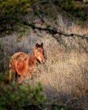 Cavallo di Brown nel pascolo Immagini Stock