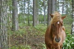 Cavallo di Brown su un fondo finlandese della natura della Finlandia della foresta Immagine Stock Libera da Diritti