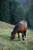 Cavallo di Brown su un pascolo della collina Fotografie Stock