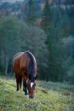 Cavallo di Brown su un pascolo della montagna Fotografia Stock