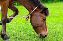 Cavallo di Brown sul pascolo. Fotografia Stock Libera da Diritti