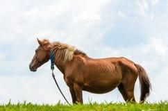 Cavallo di Brown sul pascolo. Immagine Stock