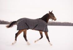 Cavallo di Brown in un funzionamento a quadretti del cavallo-panno Fotografia Stock Libera da Diritti