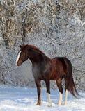 Cavallo di Brown in un paesaggio di legni della neve Fotografia Stock