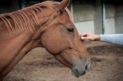 Cavallo di Brown in una scuderia di equitazione con la mano di un mA Fotografia Stock Libera da Diritti