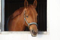 Cavallo di Brown in una stalla Fotografia Stock