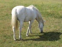 Cavallo di Camargue Immagini Stock Libere da Diritti