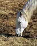 Cavallo di Camargue, Francia Immagini Stock Libere da Diritti