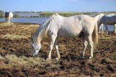 Cavallo di Camargue, Francia Fotografie Stock Libere da Diritti