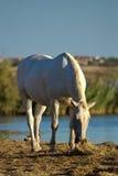 Cavallo di Camargue, Francia Fotografia Stock