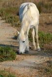 Cavallo di Camarque Fotografia Stock Libera da Diritti