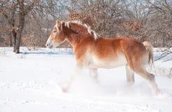 Cavallo di cambiale belga che trotta attraverso la neve Fotografia Stock Libera da Diritti