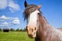 Cavallo di cambiale dell'azienda agricola Immagine Stock